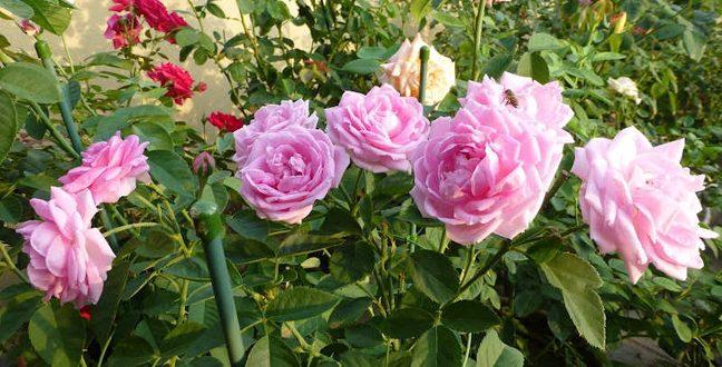 Taukah Anda Cara Merawat Bunga Mawar Harian Forum